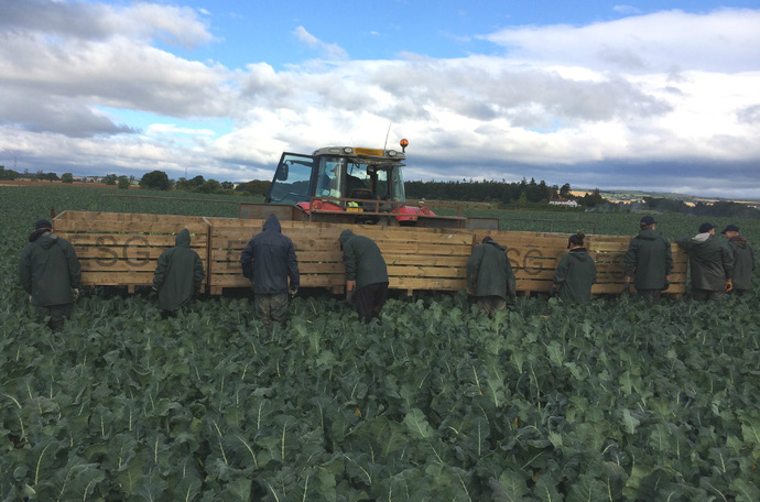 How to increase vegetable brassica yield